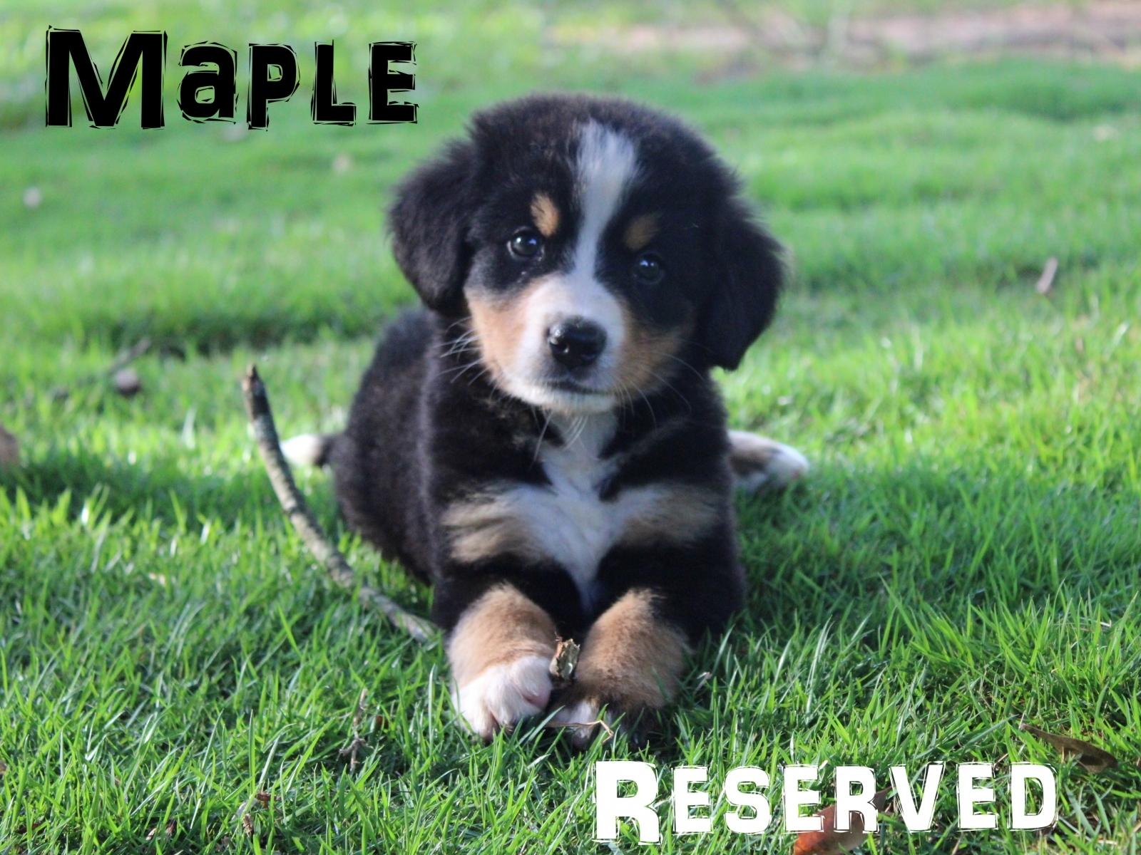Maple-4