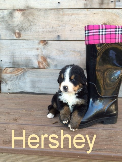 Hershey 4wks