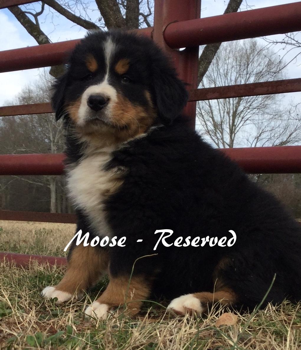 Moose - 7wksRES