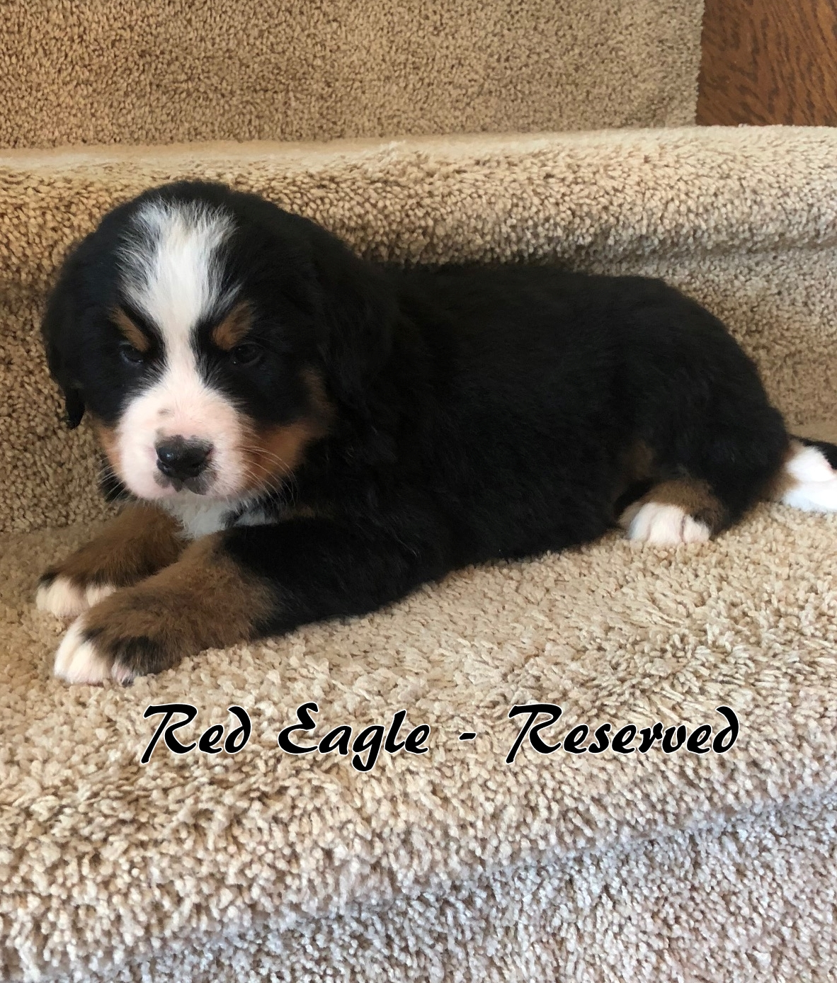 Red Eagle - 6weeks